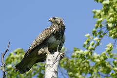 Kamchatkan rough-legged buzzard. Royalty Free Stock Photos