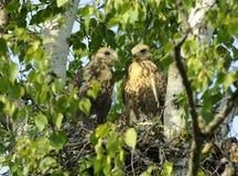 Kamchatkan rough-legged buzzard. Royalty Free Stock Images