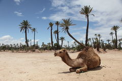 kameel royalty-vrije stock afbeelding
