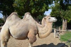 Kameel bij de dierentuinpark van Boedapest Royalty-vrije Stock Foto's