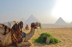 Kameel bij Grote Piramide van Giza stock foto's