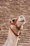 Kameel bij Piramides Giza Stock Foto