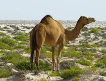 Kameel bij woestijn royalty-vrije stock afbeelding