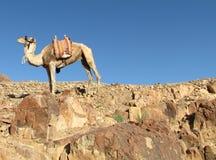 kameel bovenop de berg stock fotografie
