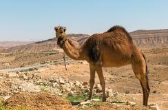 kameel in de Negev-woestijn Royalty-vrije Stock Foto