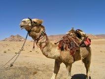 Kameel, de Rum JORDANIË van de Wadi stock afbeelding