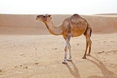 Kameel in de Sahara. Royalty-vrije Stock Afbeelding