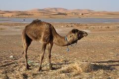 Kameel in de Sahara, Marokko stock afbeelding
