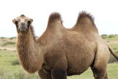 Kameel in de taklamakan woestijn royalty-vrije stock foto's