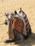 Kameel in de woestijn Royalty-vrije Stock Afbeeldingen