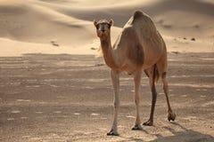 Kameel in de woestijn stock foto