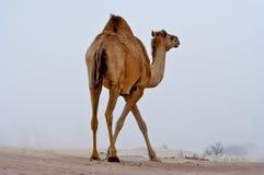 Kameel in de woestijn. royalty-vrije stock fotografie