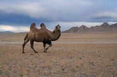 Kameel in de woestijn Royalty-vrije Stock Fotografie