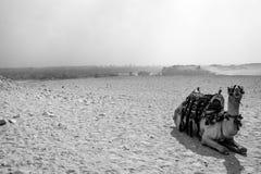 Kameel in de woestijn Giza, Egypte Stock Afbeelding