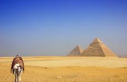 Kameel in de woestijn met de piramides van Giza Stock Foto