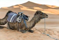 Kameel in de Woestijn van de Sahara Stock Afbeelding
