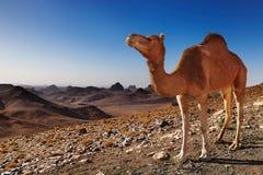 Kameel in de Woestijn van de Sahara Stock Foto