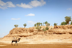 Kameel in de Woestijn van Gobi Stock Afbeelding