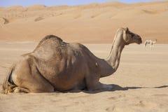 Kameel in de woestijn van Oman Stock Afbeeldingen