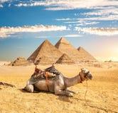 Kameel dichtbij piramides stock afbeelding