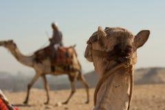 Kameel die bij een andere kameel in de woestijn staren. Stock Afbeelding