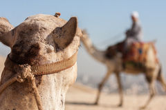 Kameel die bij een andere kameel in de woestijn staren. Royalty-vrije Stock Foto