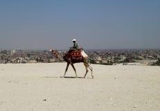 Kameel die boven Kaïro op de vlaktes van Giza lopen Stock Afbeelding