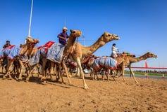 Kameel die in Doubai rennen Royalty-vrije Stock Foto