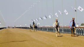 Kameel die in Doubai rennen stock video