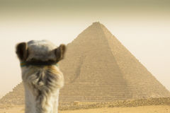 Kameel die op de Cheops-piramide letten Stock Afbeelding