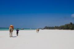 Kameel die op tropisch strand loopt Royalty-vrije Stock Afbeelding