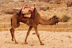 Kameel die, op zijn rit met toeristen rond Petra in Jordanië wachten rondwandelen die Stock Foto