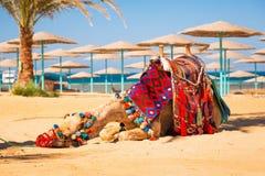 Kameel die in schaduw op het strand van Hurghada rusten Stock Foto