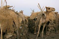 Kameel die zich dichtbij de typische Ethiopische huizen bevinden Royalty-vrije Stock Foto's