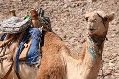 Kameel in Egypte Royalty-vrije Stock Fotografie