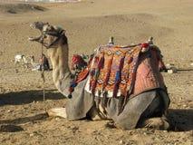Kameel in Egypte Stock Foto's