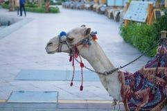 Kameel in Egypte Royalty-vrije Stock Afbeeldingen