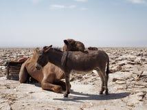 Kameel en ezel in de woestijn stock foto's