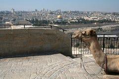 Kameel en Jeruzalem royalty-vrije stock afbeelding