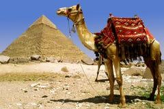 Kameel en piramide royalty-vrije stock afbeeldingen