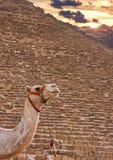 Kameel en Piramides Royalty-vrije Stock Foto