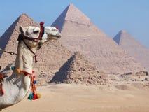 Kameel en piramides Royalty-vrije Stock Fotografie