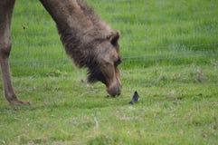 Kameel en vogel Stock Afbeelding