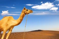 Kameel en woestijn het panoramische landschap van zandduinen Royalty-vrije Stock Afbeelding