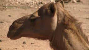 Kameel hoofd dichte omhooggaande Salala Oman stock video