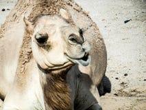 Kameel Kamel Royalty-vrije Stock Afbeeldingen