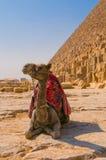 Kameel naast piramide in Giza, Kaïro Stock Foto