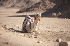 Kameel op een woestijn Royalty-vrije Stock Afbeeldingen