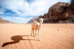 Kameel op een woestijn in het nationale park van Jordanië - Wadi Rum-woestijn Reis photoshoot Natuurlijke achtergrond Stock Foto's