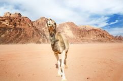 Kameel op een woestijn in het nationale park van Jordanië - Wadi Rum-woestijn Reis photoshoot Natuurlijke achtergrond Stock Foto